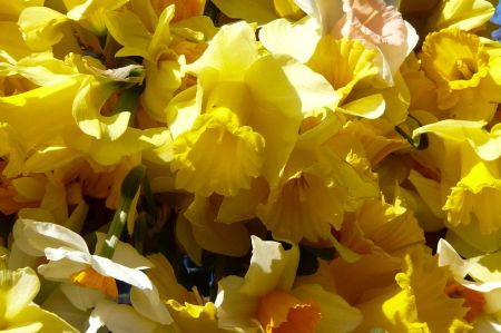 The Sunshine of Daffodils