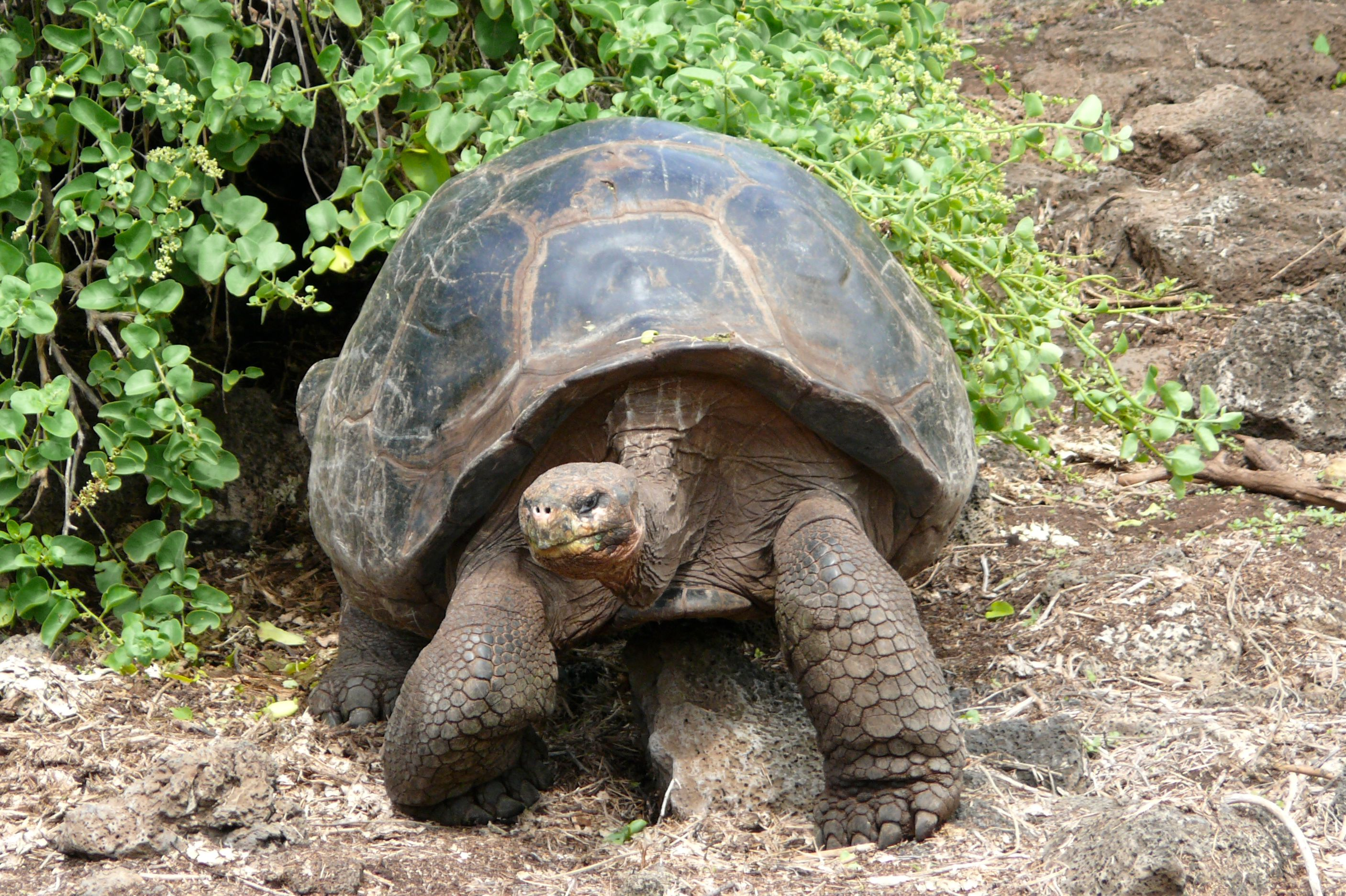 Galapagos Islands-636 | Tortoises mating at the Galapagos ... |Galapagos Tortoise