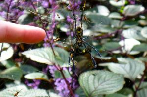 A Golden Orb Spider and a Brave Finger