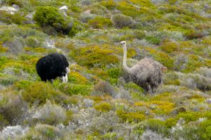 Ostriches near Cape Town